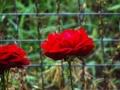 Έλενα Τόγια Kylie Minogue & Nick Cave - Where The Wild Roses Grow